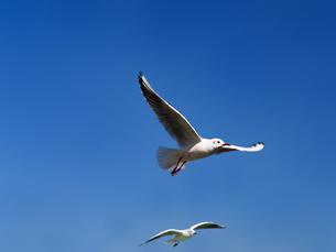青空を飛ぶカモメの写真素材 [FYI01184647]