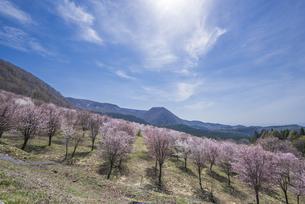 陽春の桜峠の桜群の写真素材 [FYI01184723]