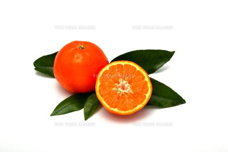 セミノール,柑橘類の写真素材 [FYI01184797]