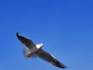 青空を飛ぶカモメの写真素材 [FYI01184808]