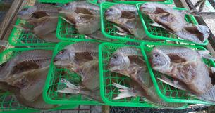 鯛の干物の写真素材 [FYI01185004]