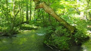 新緑の奥入瀬渓流の写真素材 [FYI01185037]