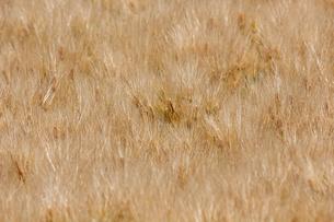 麦の写真素材 [FYI01185087]