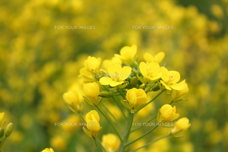 菜の花の写真素材 [FYI01185166]