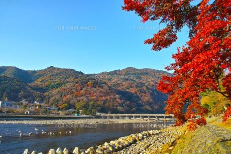 紅葉シーズンの渡月橋の写真素材 [FYI01185204]
