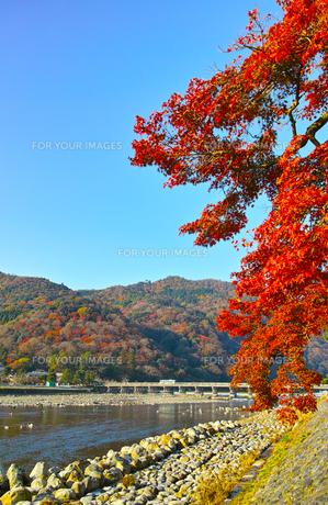 紅葉シーズンの渡月橋の写真素材 [FYI01185205]