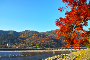 紅葉シーズンの渡月橋の写真素材 [FYI01185206]