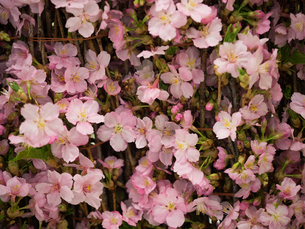 桜の切花の写真素材 [FYI01185235]