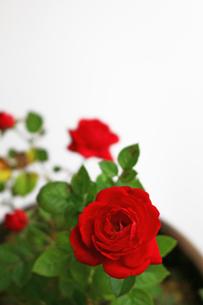 白を背景に美しく咲いた小さな赤いバラの写真素材 [FYI01185249]