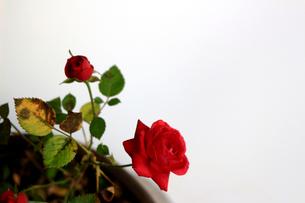 白を背景に美しく咲いた小さな赤いバラの写真素材 [FYI01185256]
