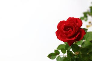 白を背景に美しく咲いた小さな赤いバラの写真素材 [FYI01185259]