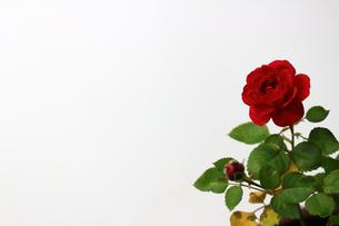 白を背景に美しく咲いた小さな赤いバラの写真素材 [FYI01185260]
