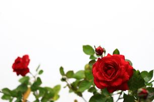 白を背景に美しく咲いた小さな赤いバラの写真素材 [FYI01185261]