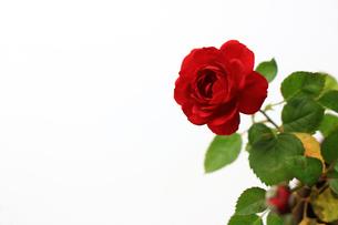 白を背景に美しく咲いた小さな赤いバラの写真素材 [FYI01185262]
