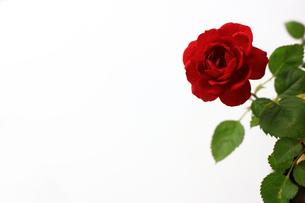 白を背景に美しく咲いた小さな赤いバラの写真素材 [FYI01185263]