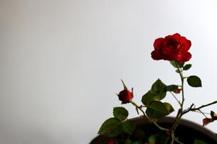 白を背景に美しく咲いた小さな赤いバラの写真素材 [FYI01185265]