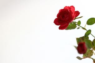 白を背景に美しく咲いた小さな赤いバラの写真素材 [FYI01185266]