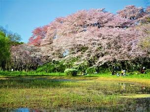春の桜の空間の写真素材 [FYI01185285]