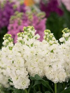 ストックの花の写真素材 [FYI01185365]
