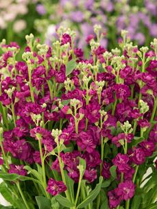 ストックの花の写真素材 [FYI01185366]