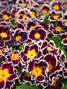 プリムラの花の写真素材 [FYI01185445]