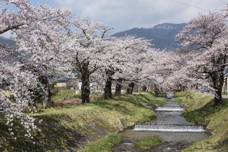 観音寺川の桜並木の写真素材 [FYI01185517]