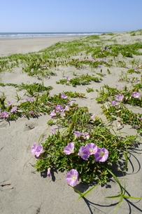 九十九里浜のハマヒルガオの写真素材 [FYI01185518]