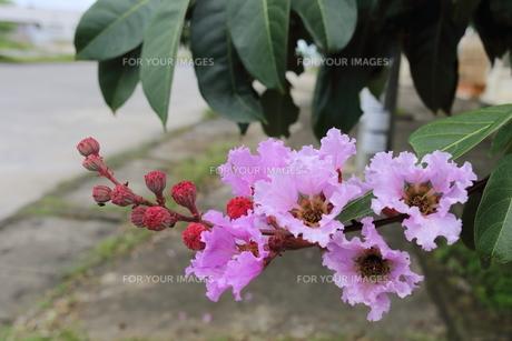 オオバナサルスベリ の写真素材 [FYI01185585]