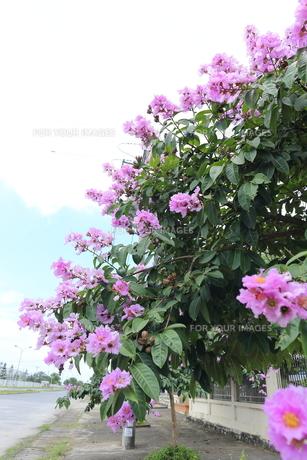 オオバナサルスベリ の写真素材 [FYI01185587]