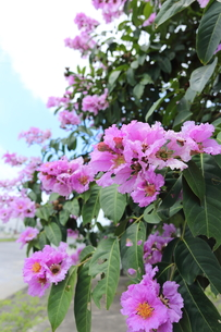 オオバナサルスベリ の写真素材 [FYI01185588]