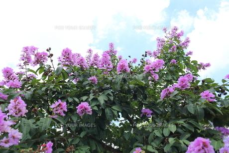 オオバナサルスベリ の写真素材 [FYI01185589]