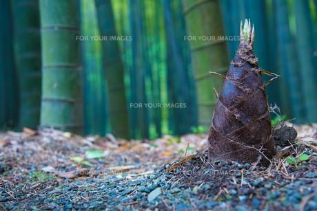 筍と竹林の写真素材 [FYI01185636]