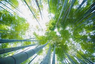 新緑の竹林の写真素材 [FYI01185641]