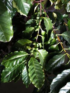 緑色のコーヒー豆の写真素材 [FYI01185791]