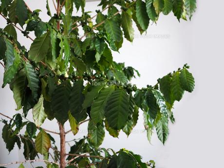 緑色のコーヒー豆の写真素材 [FYI01185792]