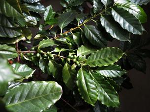 緑色のコーヒー豆の写真素材 [FYI01185793]