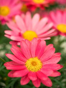 ピンクのマーガレットの写真素材 [FYI01186044]