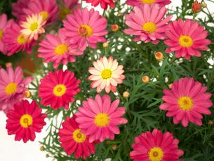 ピンクのマーガレットの写真素材 [FYI01186045]