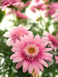 ピンクのマーガレットの写真素材 [FYI01186046]