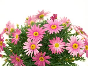 ピンクのマーガレットの写真素材 [FYI01186048]