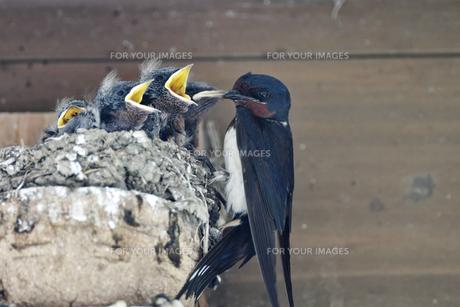 燕の子育ての写真素材 [FYI01186251]