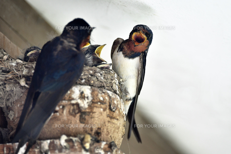 燕の子育ての写真素材 [FYI01186252]