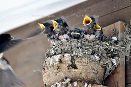 燕の子育ての写真素材 [FYI01186253]