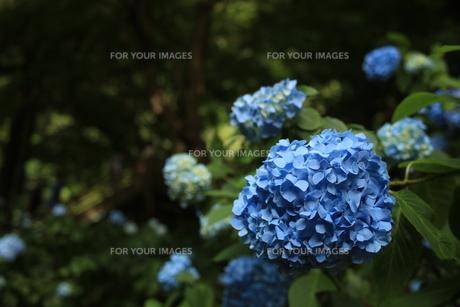 紫陽花の写真素材 [FYI01186494]