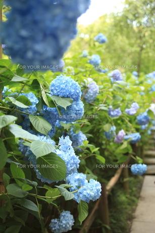 紫陽花の写真素材 [FYI01186495]