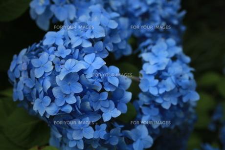 紫陽花の写真素材 [FYI01186496]