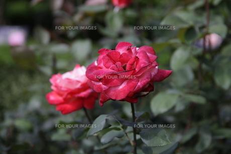 薔薇の写真素材 [FYI01186499]