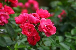 薔薇の写真素材 [FYI01186500]