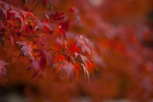 紅葉の写真素材 [FYI01186504]