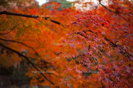 紅葉の写真素材 [FYI01186506]